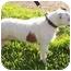 Photo 3 - Jack Russell Terrier Dog for adoption in Phoenix, Arizona - SOHPIE