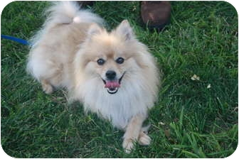 Pomeranian Mix Dog for adoption in Columbia, Illinois - Devon
