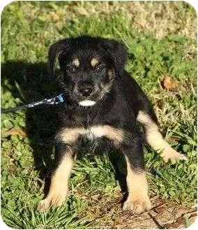 Irish Wolfhound Mix Puppy for adoption in Staunton, Virginia - Dublin