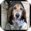 Basset Hound Dog for adoption in Marietta, Georgia - Constance