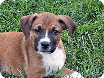 Boxer/Labrador Retriever Mix Puppy for adoption in Cincinnati, Ohio - Cheddar