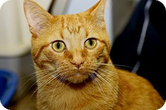 Domestic Shorthair Cat for adoption in Lombard, Illinois - Garfield