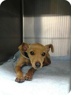 Terrier (Unknown Type, Small)/Chihuahua Mix Puppy for adoption in MARION, Virginia - Radar