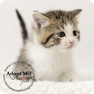 Domestic Mediumhair Kitten for adoption in Troy, Ohio - Petunia