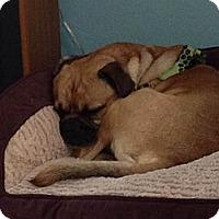 Adopt A Pet :: Joker - Chesterfield, VA