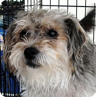 Yorkie, Yorkshire Terrier/Silky Terrier Mix Puppy for adoption in Tumwater, Washington - Tanya