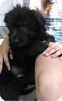 Labradoodle/Hound (Unknown Type) Mix Puppy for adoption in Kalamazoo, Michigan - Ulmer - Jen