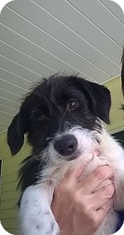 Terrier (Unknown Type, Small) Mix Puppy for adoption in Morgantown, West Virginia - Marie