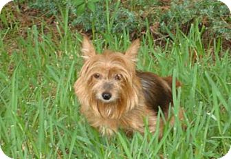 Yorkie, Yorkshire Terrier/Yorkie, Yorkshire Terrier Mix Dog for adoption in Mt. Pleasant, South Carolina - Zoey