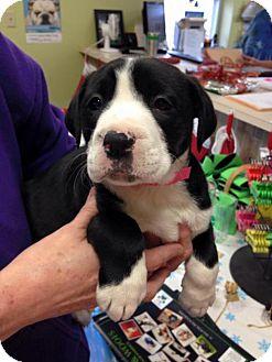 Border Collie Mix Puppy for adoption in Newburgh, Indiana - Fruitcake