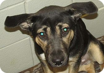Shepherd (Unknown Type) Mix Dog for adoption in Aiken, South Carolina - SHADOW