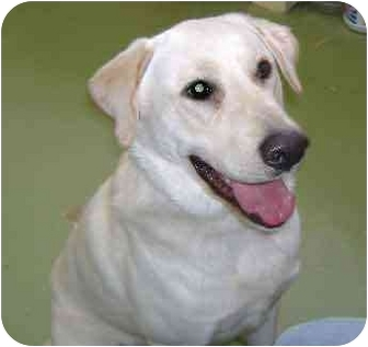 Labrador Retriever Mix Dog for adoption in Warren, Pennsylvania - Kelso