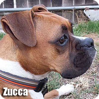 Boxer Dog for adoption in Encino, California - Zucca