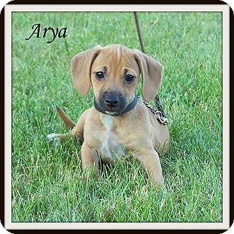 Dachshund/Beagle Mix Puppy for adoption in Milford, New Jersey - Arya