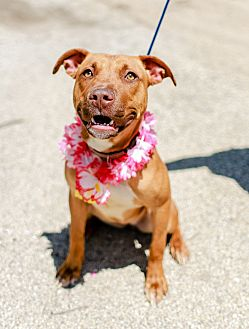 American Staffordshire Terrier/Rhodesian Ridgeback Mix Dog for adoption in Joliet, Illinois - Thelma