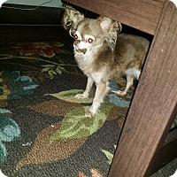 Adopt A Pet :: Willow - st peters, MO