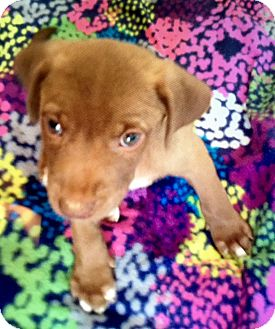 Labrador Retriever Mix Puppy for adoption in East Windsor, Connecticut - Chance-ADOPTION PENDING