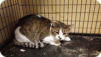 Domestic Shorthair Cat for adoption in Kensington, Connecticut - Princess