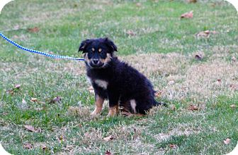 German Shepherd Dog Mix Puppy for adoption in New Oxford, Pennsylvania - Grant