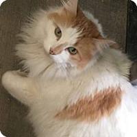 Domestic Longhair Cat for adoption in Wasilla, Alaska - Nacho