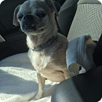 Pug Mix Dog for adoption in Austin, Texas - Spirit