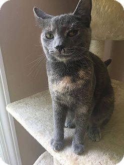 Domestic Shorthair Cat for adoption in Lexington, Kentucky - Brat