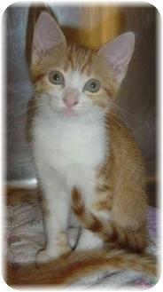 Hemingway/Polydactyl Kitten for adoption in Naples, Florida - Apache