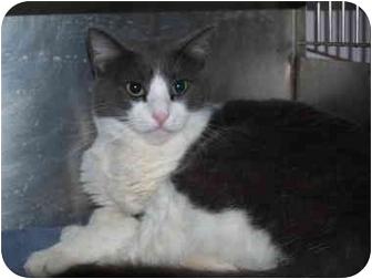 Domestic Shorthair Cat for adoption in El Cajon, California - Murphy