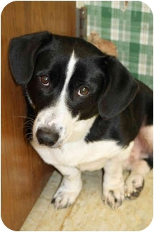 Basset Hound/Cardigan Welsh Corgi Mix Dog for adoption in Racine, Wisconsin - Burt