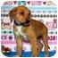 Photo 2 - Shepherd (Unknown Type)/Australian Cattle Dog Mix Puppy for adoption in Broomfield, Colorado - Winnie Mae