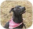 Pit Bull Terrier/Labrador Retriever Mix Dog for adoption in Smithtown, New York - Lovely Lynne