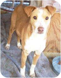 American Pit Bull Terrier Mix Dog for adoption in Paintsville, Kentucky - Tasha