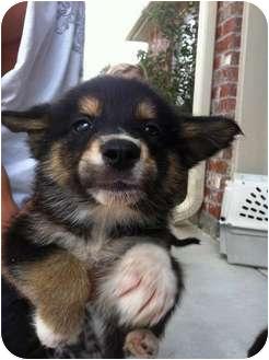 Australian Shepherd/Border Collie Mix Puppy for adoption in Baton Rouge, Louisiana - Hamilton
