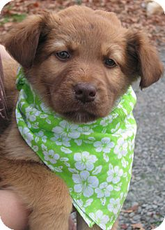 Australian Shepherd Mix Puppy for adoption in East Hartford, Connecticut - Grinch - ADOPTION PENDING
