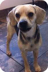 Pug/Beagle Mix Dog for adoption in Russellville, Kentucky - Sadie