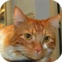 Domestic Mediumhair Cat for adoption in Gilbert, Arizona - Taz