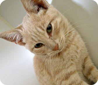Domestic Shorthair Kitten for adoption in Staunton, Virginia - Brice