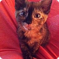 Adopt A Pet :: Amber - Reston, VA
