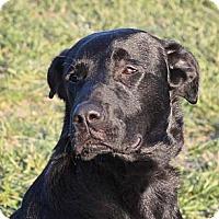 Adopt A Pet :: Blazer - Lewisville, IN