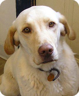 Labrador Retriever Dog for adoption in Glenwood, Minnesota - Jake