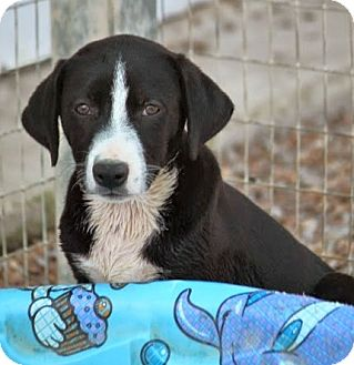 Labrador Retriever/Border Collie Mix Puppy for adoption in Westport, Connecticut - *Pam Macy - PENDING