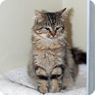 Maine Coon Cat for adoption in New Martinsville, West Virginia - Larry