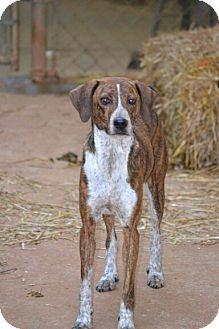 Plott Hound Mix Dog for adoption in Nashville, Tennessee - Katie
