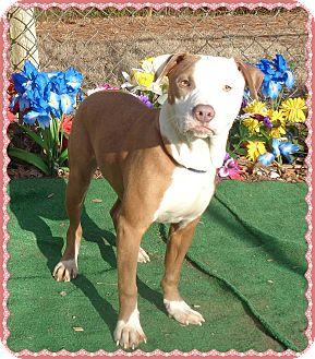 American Pit Bull Terrier Mix Dog for adoption in Marietta, Georgia - IRIS- See Video!