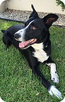 Border Collie Mix Dog for adoption in San Pedro, California - CHARLY (Courtesy List)