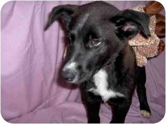 Labrador Retriever/Husky Mix Puppy for adoption in Ephrata, Pennsylvania - Juliet