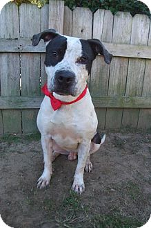 American Pit Bull Terrier/American Staffordshire Terrier Mix Dog for adoption in Darlington, South Carolina - Max