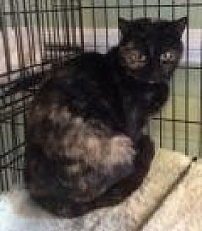 Domestic Shorthair Cat for adoption in Breinigsville, Pennsylvania - Candie