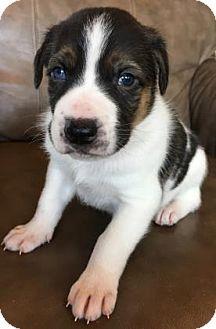 Shepherd (Unknown Type) Mix Puppy for adoption in Fredericksburg, Texas - Arrow