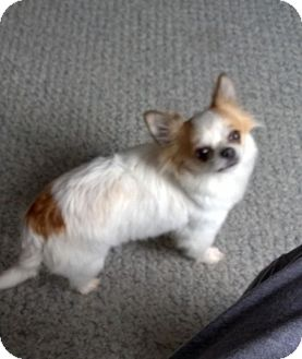 Chihuahua Dog for adoption in Hanover, Ontario - Chloe